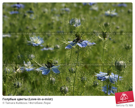 Голубые цветы (Love-in-a-mist), фото № 5169, снято 1 июля 2006 г. (c) Tamara Kulikova / Фотобанк Лори