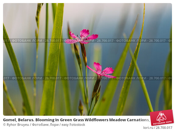 Купить «Gomel, Belarus. Blooming In Green Grass Wildflowers Meadow Carnations, Dianthus Pratensis Or Dianthus Chloroleucus In Summer Field At Sunset Sunrise. Close Up At Blue Background.», фото № 28700017, снято 13 июня 2016 г. (c) easy Fotostock / Фотобанк Лори