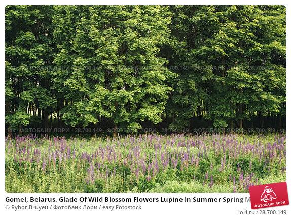 Купить «Gomel, Belarus. Glade Of Wild Blossom Flowers Lupine In Summer Spring Meadow Field In Sunset Sunrise. Greenwood Background. Lupinus, Lupin Or Lupine, Is...», фото № 28700149, снято 13 июня 2016 г. (c) easy Fotostock / Фотобанк Лори