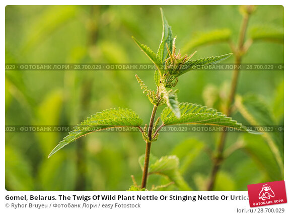 Купить «Gomel, Belarus. The Twigs Of Wild Plant Nettle Or Stinging Nettle Or Urtica Dioica In Summer Spring Meadow Field At Sunset Sunrise. Close Up.», фото № 28700029, снято 13 июня 2016 г. (c) easy Fotostock / Фотобанк Лори