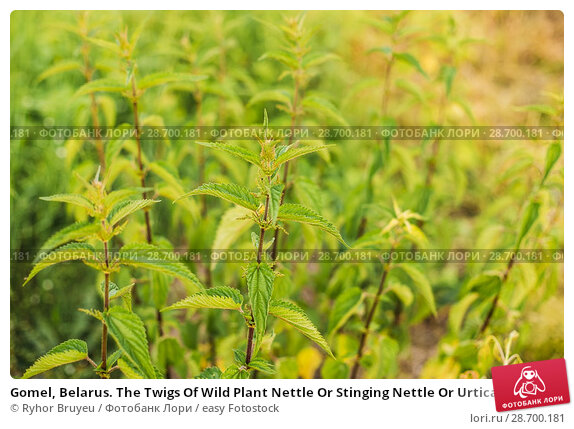 Купить «Gomel, Belarus. The Twigs Of Wild Plant Nettle Or Stinging Nettle Or Urtica Dioica In Summer Spring Meadow Field At Sunset Sunrise. Close Up.», фото № 28700181, снято 13 июня 2016 г. (c) easy Fotostock / Фотобанк Лори