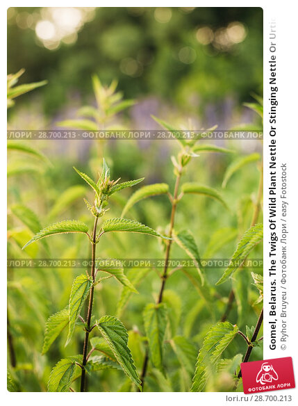 Купить «Gomel, Belarus. The Twigs Of Wild Plant Nettle Or Stinging Nettle Or Urtica Dioica In Summer Spring Meadow Field At Sunset Sunrise. Close Up.», фото № 28700213, снято 13 июня 2016 г. (c) easy Fotostock / Фотобанк Лори