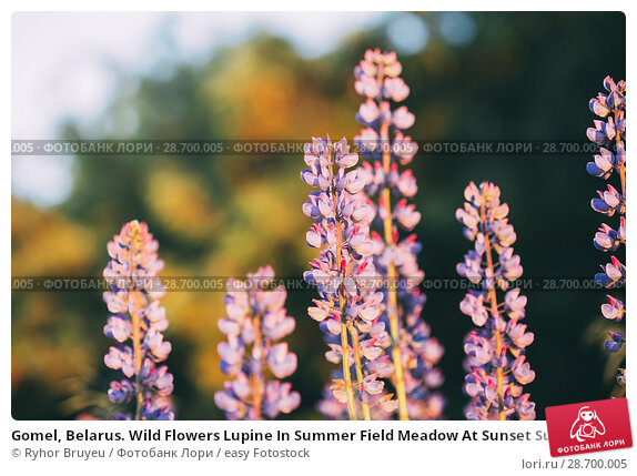 Купить «Gomel, Belarus. Wild Flowers Lupine In Summer Field Meadow At Sunset Sunrise. Close Up. Copyspace. Lupinus, Commonly Known As Lupin Or Lupine, Is A Genus...», фото № 28700005, снято 11 июня 2016 г. (c) easy Fotostock / Фотобанк Лори