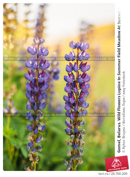Купить «Gomel, Belarus. Wild Flowers Lupine In Summer Field Meadow At Sunset Sunrise. Close Up. Lupinus, Commonly Known As Lupin Or Lupine, Is A Genus Of Flowering Plants In The Legume Family, Fabaceae.», фото № 28700209, снято 13 июня 2016 г. (c) easy Fotostock / Фотобанк Лори