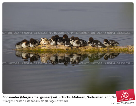 Купить «Goosander (Mergus merganser) with chicks. Malaren, Sodermanland, Sweden.», фото № 33438057, снято 23 мая 2019 г. (c) age Fotostock / Фотобанк Лори