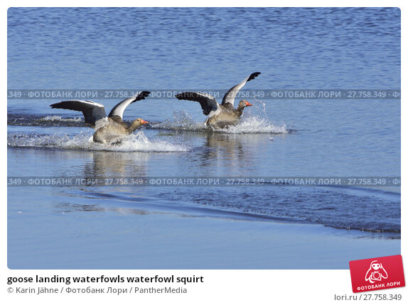 Купить «goose landing waterfowls waterfowl squirt», фото № 27758349, снято 19 марта 2019 г. (c) PantherMedia / Фотобанк Лори