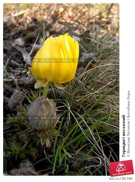 Горицвет весенний, фото № 58749, снято 1 апреля 2007 г. (c) Вячеслав Потапов / Фотобанк Лори