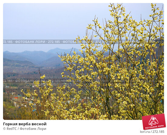 Горная верба весной, фото № 272185, снято 2 мая 2008 г. (c) RedTC / Фотобанк Лори
