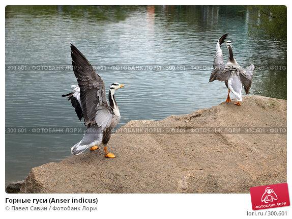 Горные гуси (Anser indicus), фото № 300601, снято 4 мая 2008 г. (c) Павел Савин / Фотобанк Лори