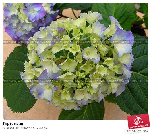 Купить «Гортензия», эксклюзивное фото № 293957, снято 16 апреля 2008 г. (c) lana1501 / Фотобанк Лори