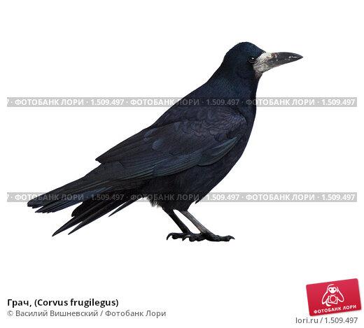 Купить «Грач, (Corvus frugilegus)», фото № 1509497, снято 12 декабря 2009 г. (c) Василий Вишневский / Фотобанк Лори