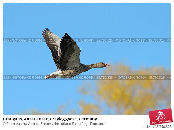 Graugans, Anser anser, Greylag goose, Germany. Стоковое фото, фотограф Zoonar.com/Michael Breuer / age Fotostock / Фотобанк Лори