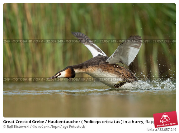 Great Crested Grebe / Haubentaucher ( Podiceps cristatus ) in a hurry, flapping its wings, taking off from a stretch of water, chasing a rival, Europe. Стоковое фото, фотограф Ralf Kistowski / age Fotostock / Фотобанк Лори