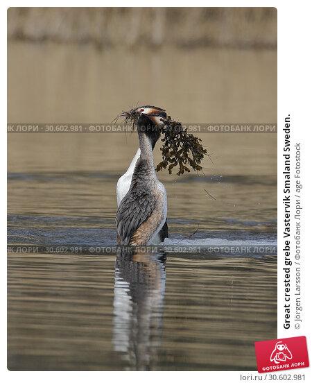 Купить «Great crested grebe Vastervik Smaland Sweden.», фото № 30602981, снято 14 апреля 2018 г. (c) age Fotostock / Фотобанк Лори