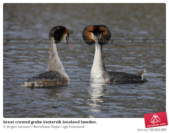 Купить «Great crested grebe Vastervik Smaland Sweden.», фото № 30602989, снято 14 апреля 2018 г. (c) age Fotostock / Фотобанк Лори
