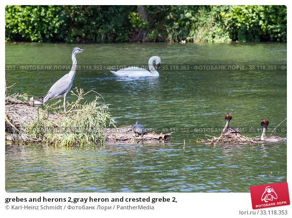 Купить «grebes and herons 2,gray heron and crested grebe 2,», фото № 33118353, снято 8 июля 2020 г. (c) PantherMedia / Фотобанк Лори