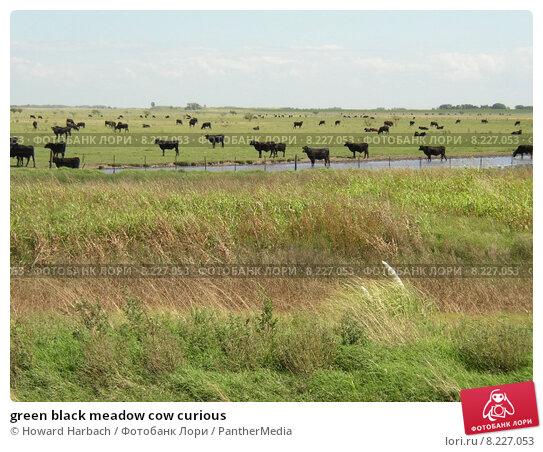 Купить «green black meadow cow curious», фото № 8227053, снято 15 сентября 2019 г. (c) PantherMedia / Фотобанк Лори