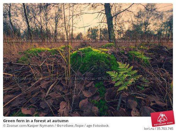 Green fern in a forest at autumn. Стоковое фото, фотограф Zoonar.com/Kasper Nymann / age Fotostock / Фотобанк Лори