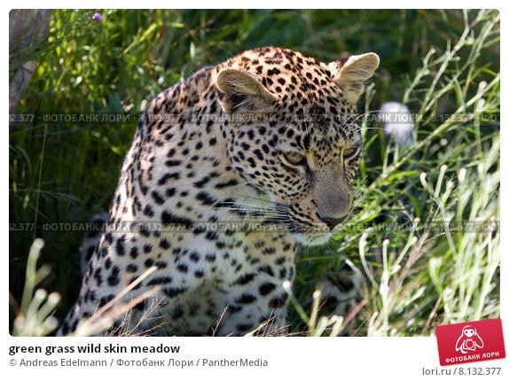 Купить «green grass wild skin meadow», фото № 8132377, снято 23 марта 2019 г. (c) PantherMedia / Фотобанк Лори