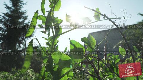 Купить «Green peas are ripening in garden stock footage video», видеоролик № 28790821, снято 19 июля 2018 г. (c) Юлия Машкова / Фотобанк Лори