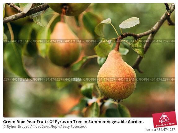 Green Ripe Pear Fruits Of Pyrus on Tree In Summer Vegetable Garden. Стоковое фото, фотограф Ryhor Bruyeu / easy Fotostock / Фотобанк Лори