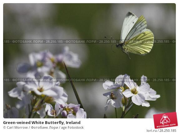 Купить «Green-veined White Butterfly, Ireland», фото № 28250185, снято 7 мая 2017 г. (c) age Fotostock / Фотобанк Лори
