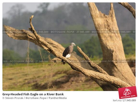 Купить «Grey-Headed Fish Eagle on a River Bank», фото № 27945089, снято 20 апреля 2019 г. (c) PantherMedia / Фотобанк Лори