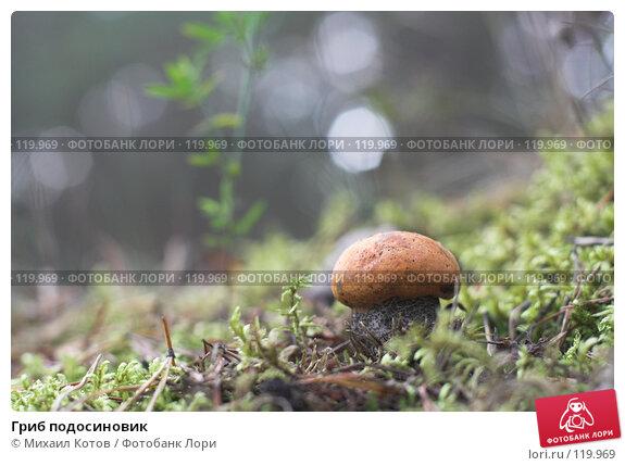 Гриб подосиновик, фото № 119969, снято 23 сентября 2007 г. (c) Михаил Котов / Фотобанк Лори