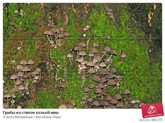 Грибы на стволе козьей ивы, фото № 300773, снято 14 июля 2007 г. (c) Алла Матвейчик / Фотобанк Лори