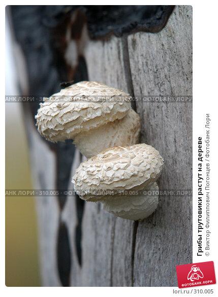 Грибы трутовики растут на дереве, фото № 310005, снято 29 сентября 2004 г. (c) Виктор Филиппович Погонцев / Фотобанк Лори