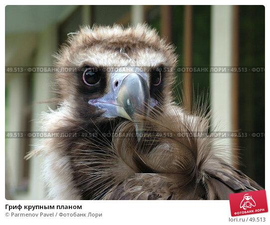 Гриф крупным планом, фото № 49513, снято 1 июня 2007 г. (c) Parmenov Pavel / Фотобанк Лори