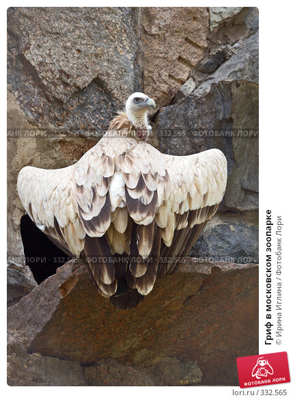 Гриф в московском зоопарке, фото № 332565, снято 21 июня 2008 г. (c) Ирина Иглина / Фотобанк Лори