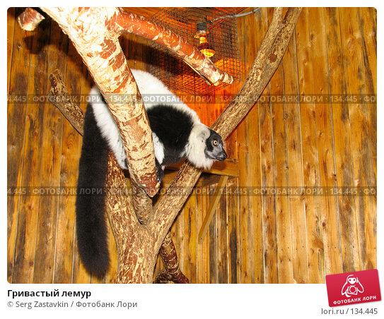 Гривастый лемур, фото № 134445, снято 10 октября 2004 г. (c) Serg Zastavkin / Фотобанк Лори
