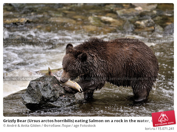Grizzly Bear Eating Salmon at Brooks Falls Alaska  YouTube