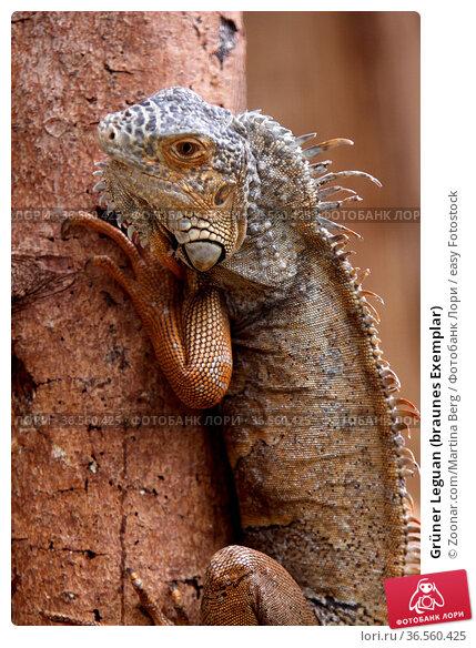 Grüner Leguan (braunes Exemplar) Стоковое фото, фотограф Zoonar.com/Martina Berg / easy Fotostock / Фотобанк Лори