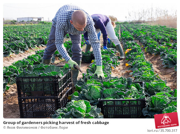 Group of gardeners picking harvest of fresh cabbage. Стоковое фото, фотограф Яков Филимонов / Фотобанк Лори
