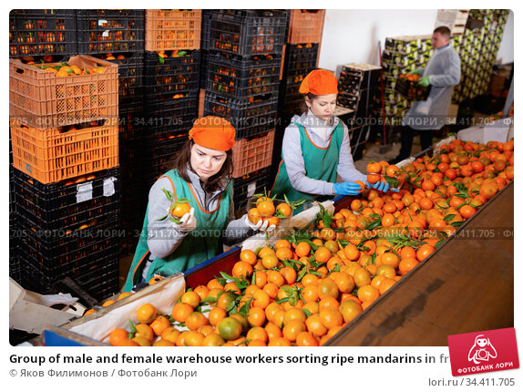 Group of male and female warehouse workers sorting ripe mandarins in fruit warehouse. Стоковое фото, фотограф Яков Филимонов / Фотобанк Лори