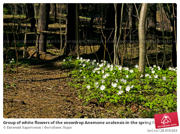 Купить «Group of white flowers of the snowdrop Anemone uralensis in the spring forest near the forest path», фото № 28419653, снято 12 мая 2018 г. (c) Евгений Харитонов / Фотобанк Лори