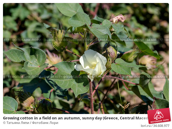 Growing cotton in a field on an autumn, sunny day (Greece, Central Macedonia) Стоковое фото, фотограф Татьяна Ляпи / Фотобанк Лори
