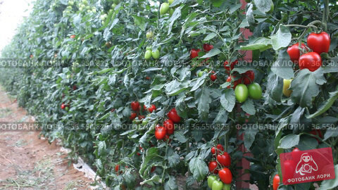 Growing organic red cocktail tomatoes on branch in glasshouse. Стоковое видео, видеограф Яков Филимонов / Фотобанк Лори