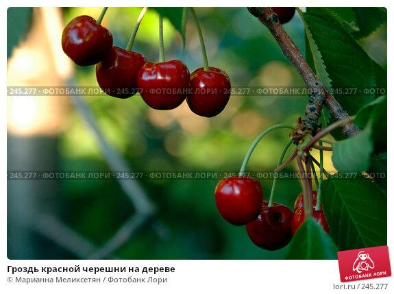 Гроздь красной черешни на дереве, фото № 245277, снято 24 июня 2007 г. (c) Марианна Меликсетян / Фотобанк Лори