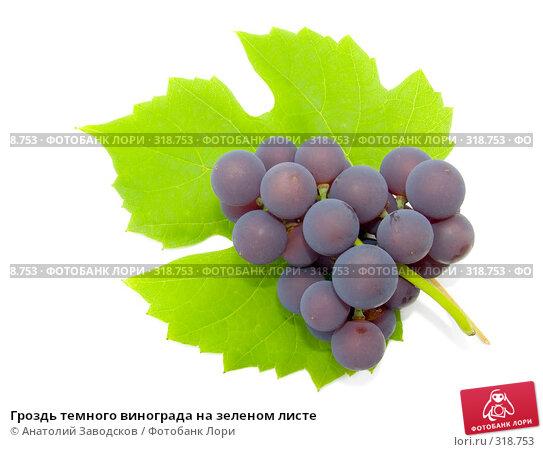 Гроздь темного винограда на зеленом листе, фото № 318753, снято 1 октября 2006 г. (c) Анатолий Заводсков / Фотобанк Лори