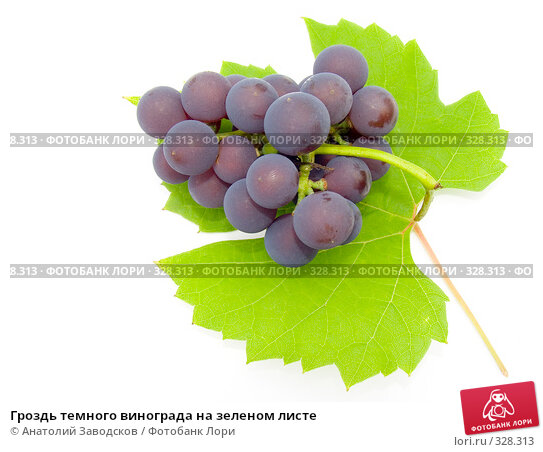 Гроздь темного винограда на зеленом листе, фото № 328313, снято 1 октября 2006 г. (c) Анатолий Заводсков / Фотобанк Лори