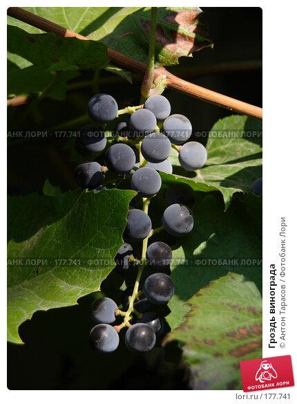 Гроздь винограда, фото № 177741, снято 18 января 2017 г. (c) Антон Тарасов / Фотобанк Лори
