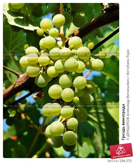 Гроздь винограда, фото № 294373, снято 3 августа 2007 г. (c) ДЕНЩИКОВ Александр Витальевич / Фотобанк Лори