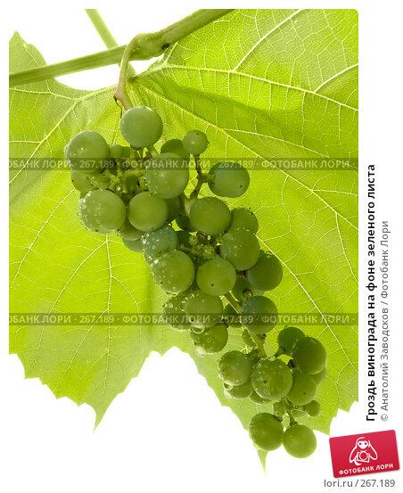 Гроздь винограда на фоне зеленого листа, фото № 267189, снято 12 августа 2007 г. (c) Анатолий Заводсков / Фотобанк Лори