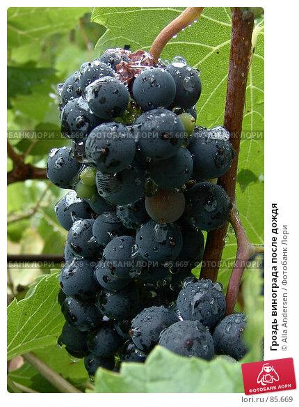 Купить «Гроздь винограда после дождя», фото № 85669, снято 11 августа 2006 г. (c) Alla Andersen / Фотобанк Лори