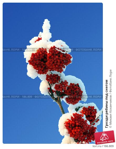 Грозди рябины под снегом, фото № 186809, снято 15 декабря 2007 г. (c) Михаил Коханчиков / Фотобанк Лори