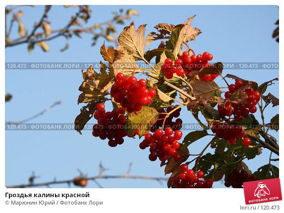 Купить «Гроздья калины красной», фото № 120473, снято 29 сентября 2007 г. (c) Марюнин Юрий / Фотобанк Лори