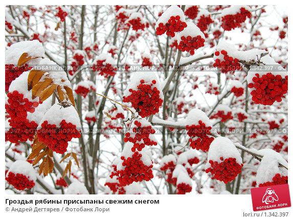 Купить «Гроздья рябины присыпаны свежим снегом», фото № 1342397, снято 4 ноября 2009 г. (c) Андрей Дегтярев / Фотобанк Лори